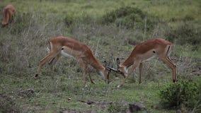 Lucha de las gacelas en sabana almacen de video