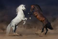 Lucha de los caballos en desierto Imagen de archivo libre de regalías