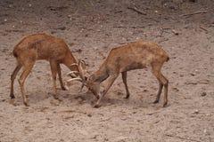 Lucha de los ciervos Imagenes de archivo
