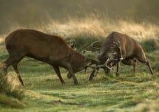 Lucha de los ciervos comunes durante la rodera imagenes de archivo
