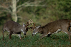 Lucha de los ciervos de Whitetail Imagenes de archivo