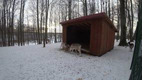 Lucha de los ciervos durante invierno almacen de metraje de vídeo