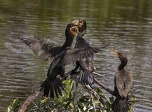 Lucha de los cormoranes para una comida a pescado fotografía de archivo libre de regalías
