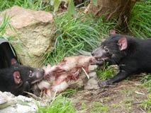 Lucha de los diablos tasmanos sobre cena Fotos de archivo