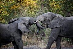 Lucha de los elefantes Fotografía de archivo