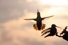 Lucha de los Hummers del arco iris Imagen de archivo