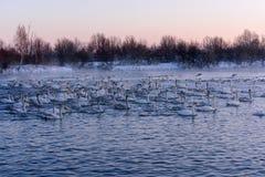 Lucha de los pájaros del invierno del lago swan fotografía de archivo