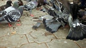Lucha de los pájaros para la comida almacen de video