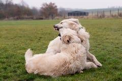 Lucha de perro Imagen de archivo libre de regalías