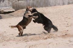 Lucha de perro Imagen de archivo