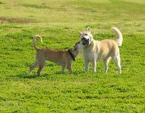 Lucha de perros Imagen de archivo