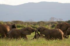 Lucha de toros del elefante Foto de archivo libre de regalías