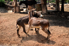 Lucha del burro Fotografía de archivo libre de regalías