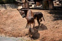 Lucha del burro Fotos de archivo