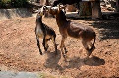 Lucha del burro Imágenes de archivo libres de regalías