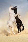 Lucha del caballo de Achal-teke Imagenes de archivo