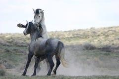 Lucha del caballo salvaje Fotografía de archivo libre de regalías