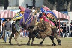 Lucha del camello Imagen de archivo