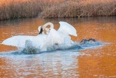 Lucha del cisne Foto de archivo libre de regalías
