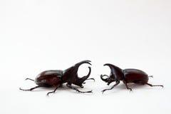 Lucha del escarabajo de macho Fotos de archivo