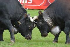 Lucha del ganado/de la vaca de Herens Fotografía de archivo