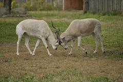 Lucha del impala Fotografía de archivo libre de regalías
