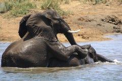Lucha del juego de los elefantes Imagenes de archivo