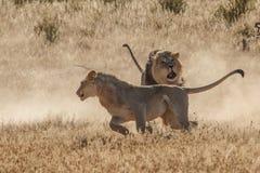 Lucha del león en Kgalagadi Imagen de archivo libre de regalías
