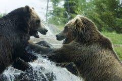 Lucha del oso del grisáceo (Brown) Imagen de archivo libre de regalías