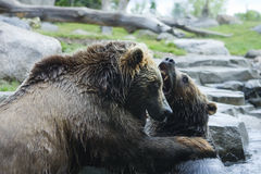 Lucha del oso del grisáceo (Brown) Fotos de archivo libres de regalías