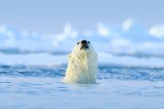 Lucha del oso polar en el agua Dos osos polares que juegan en el hielo de deriva con nieve Animales blancos en el h?bitat de la n fotografía de archivo libre de regalías