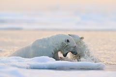 Lucha del oso polar en el agua Dos osos polares que juegan en el hielo de deriva con nieve Animales blancos en el h?bitat de la n fotos de archivo libres de regalías