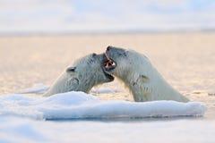 Lucha del oso polar en el agua Dos osos polares que juegan en el hielo de deriva con nieve Animales blancos en el h?bitat de la n imagen de archivo libre de regalías