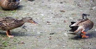 Lucha del pato Fotos de archivo