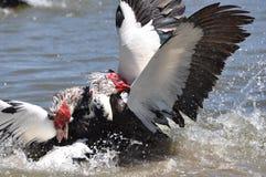 Lucha del pato de Muscovy Imagen de archivo libre de regalías