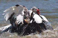 Lucha del pato de Muscovy Imágenes de archivo libres de regalías