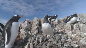 Lucha del pingüino del gentoo de la Antártida para la jerarquía del guijarro almacen de metraje de vídeo