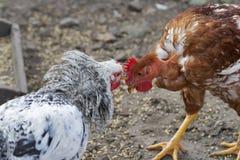 Lucha del pollo Fotos de archivo libres de regalías