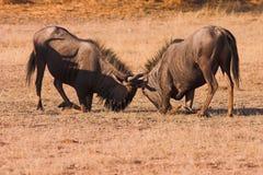 Lucha del Wildebeest Foto de archivo libre de regalías