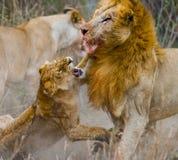 Lucha en la familia de leones Parque nacional kenia tanzania Masai Mara serengeti Fotos de archivo libres de regalías