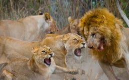 Lucha en la familia de leones Parque nacional kenia tanzania Masai Mara serengeti Imagen de archivo libre de regalías