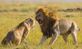 Lucha en la familia de leones Parque nacional kenia tanzania Masai Mara serengeti Fotografía de archivo