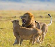 Lucha en la familia de leones Parque nacional kenia tanzania Masai Mara serengeti Foto de archivo libre de regalías