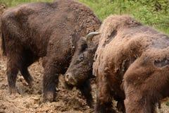 Lucha europea del bisonte para los territorios en las montañas de Tarcu Imágenes de archivo libres de regalías