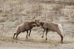 Lucha grande de las ovejas del claxon. Imagenes de archivo