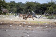 Lucha masculina del impala, melampus del Aepyceros, parque nacional de Etosha, Namibia Imagen de archivo libre de regalías