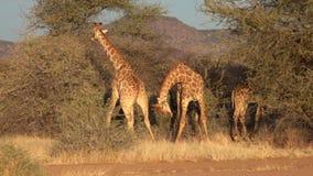 Lucha masculina joven de dos jirafas almacen de metraje de vídeo
