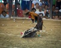 Lucha o Sabong del gallo Fotografía de archivo