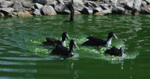 Lucha para la comida en el patio trasero, triunfos más grandes, rivalidad de los patos en el agua verde para conseguirle a más co almacen de metraje de vídeo