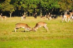 Lucha para la princesa de los ciervos Imágenes de archivo libres de regalías
